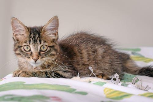 Photos gratuites de chat, chat tigré, chaton