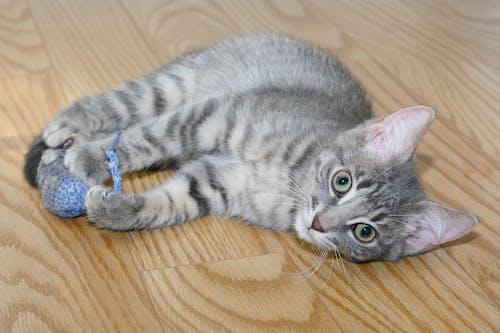 Photos gratuites de chat, chaton, gris tabby
