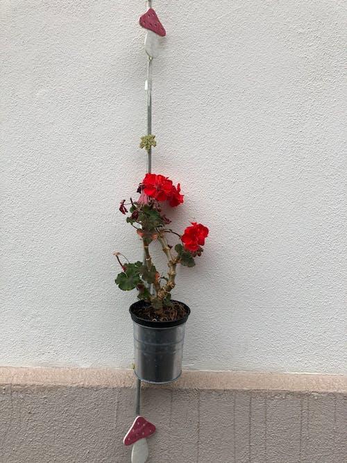Gratis stockfoto met huizen, mooie bloem, muur, rood