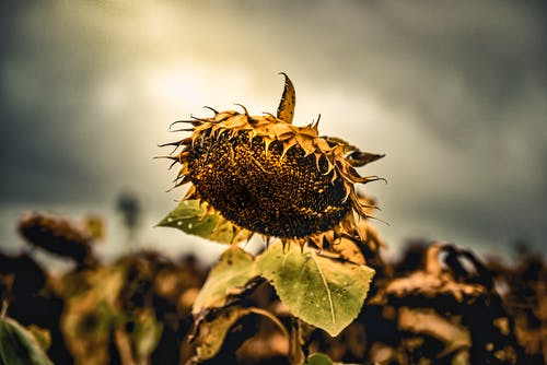 Ilmainen kuvapankkikuva tunnisteilla auringonkukka, kasvi, kenttä, kuollut
