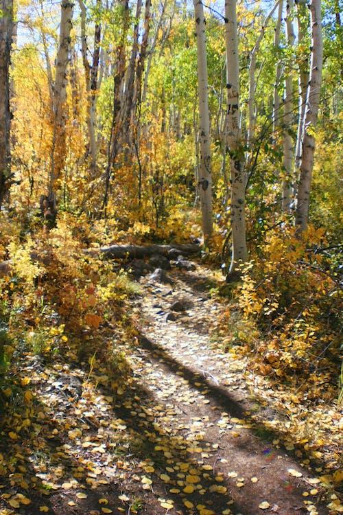 樹, 樹葉, 白楊, 秋季 的 免費圖庫相片