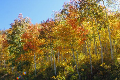 Imagine de stoc gratuită din arbore, cădere, plop tremurător, toamnă