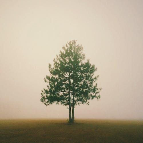 Foto profissional grátis de árvore, conífera, enevoado, garoa