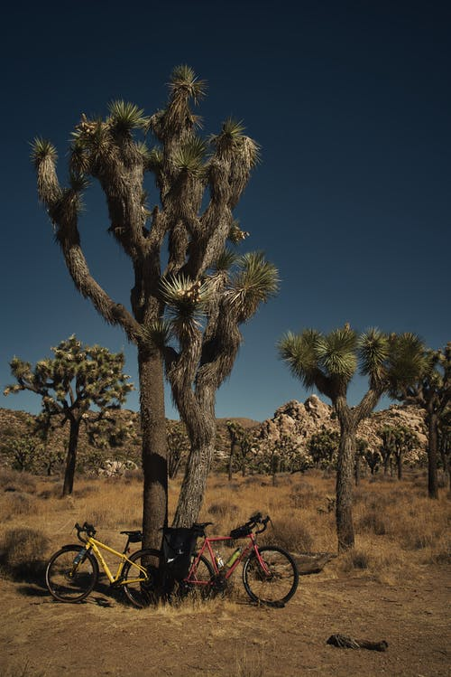 Red and Yellow Bicycles Parked Beside Joshua Tree