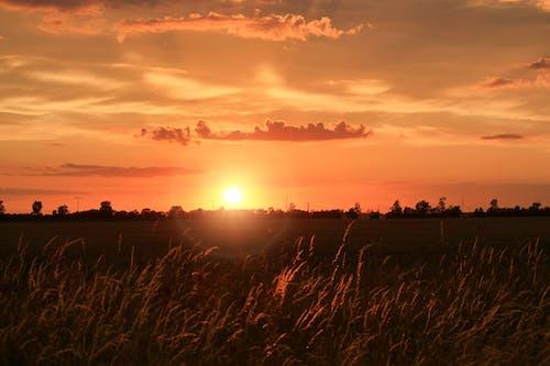 ゴールド, ファーム, フィールド, 作物の無料の写真素材