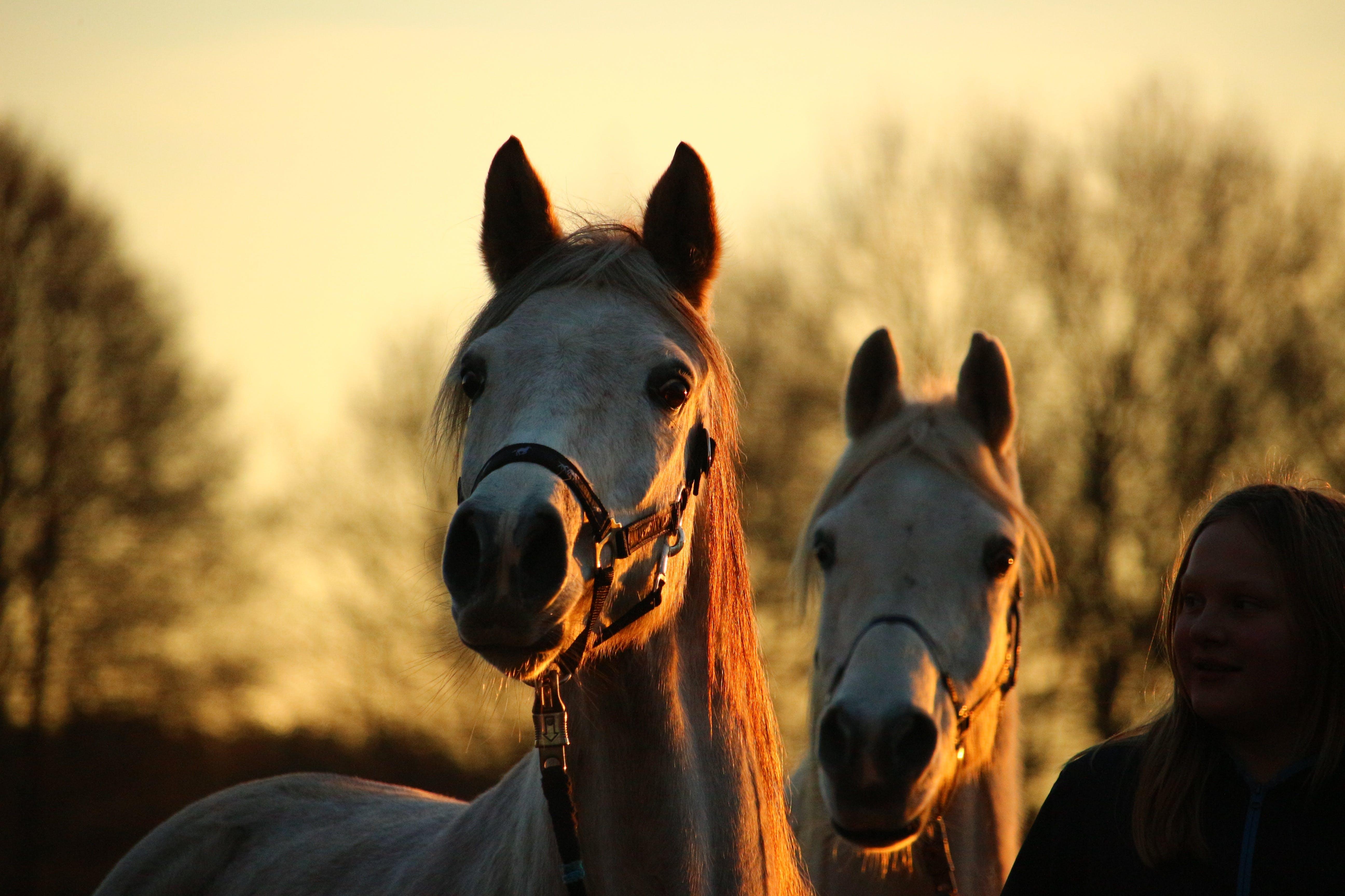 Free stock photo of sunset, dusk, horse, horse head