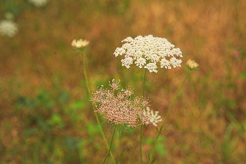 Gratis arkivbilde med champ, ciguë, fare, fleur