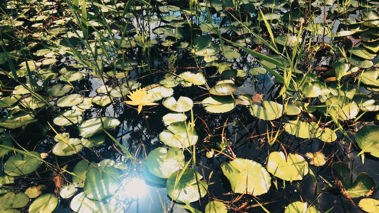 fleur, fleur de lotus, lotus