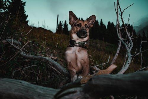 Foto profissional grátis de árvores, cachorro, gsd, madeiras