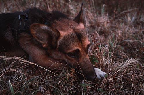 Foto profissional grátis de cachorro, estado de espírito, grama, gsd