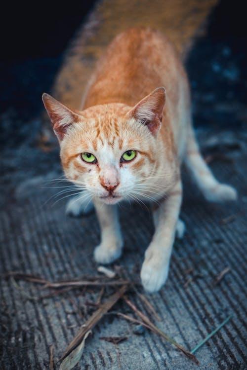 Photos gratuites de chat, féroce, patte, portrait animalier
