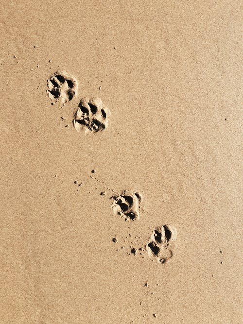 Black and White Paw Prints on Brown Sand