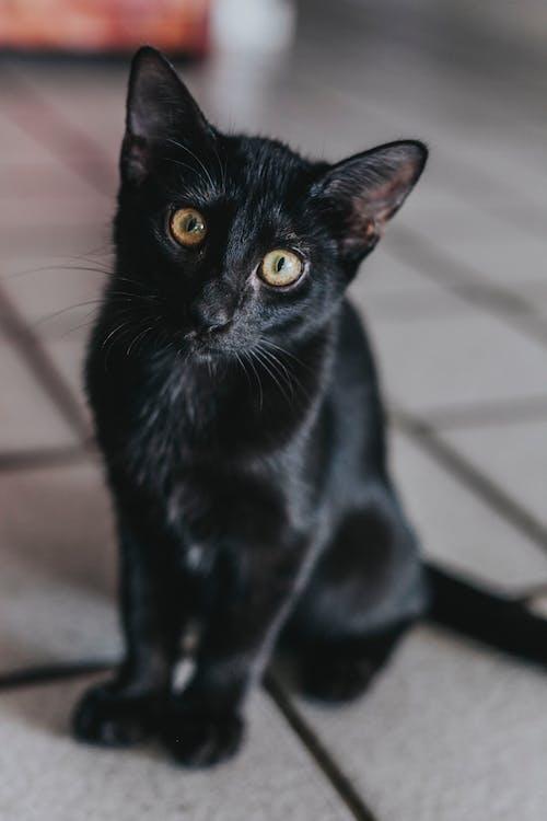 Ilmainen kuvapankkikuva tunnisteilla kissa, kissan kasvot, kissan silmä, musta kissa