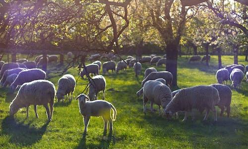 Immagine gratuita di agnello, lamm, pecora, schaf