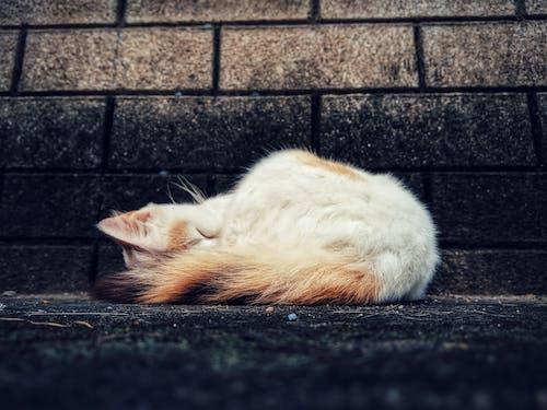 Free stock photo of cat, pet, sleeping cat