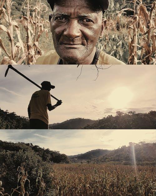 アダルト, おとこ, お年寄り, トウモロコシ畑の無料の写真素材