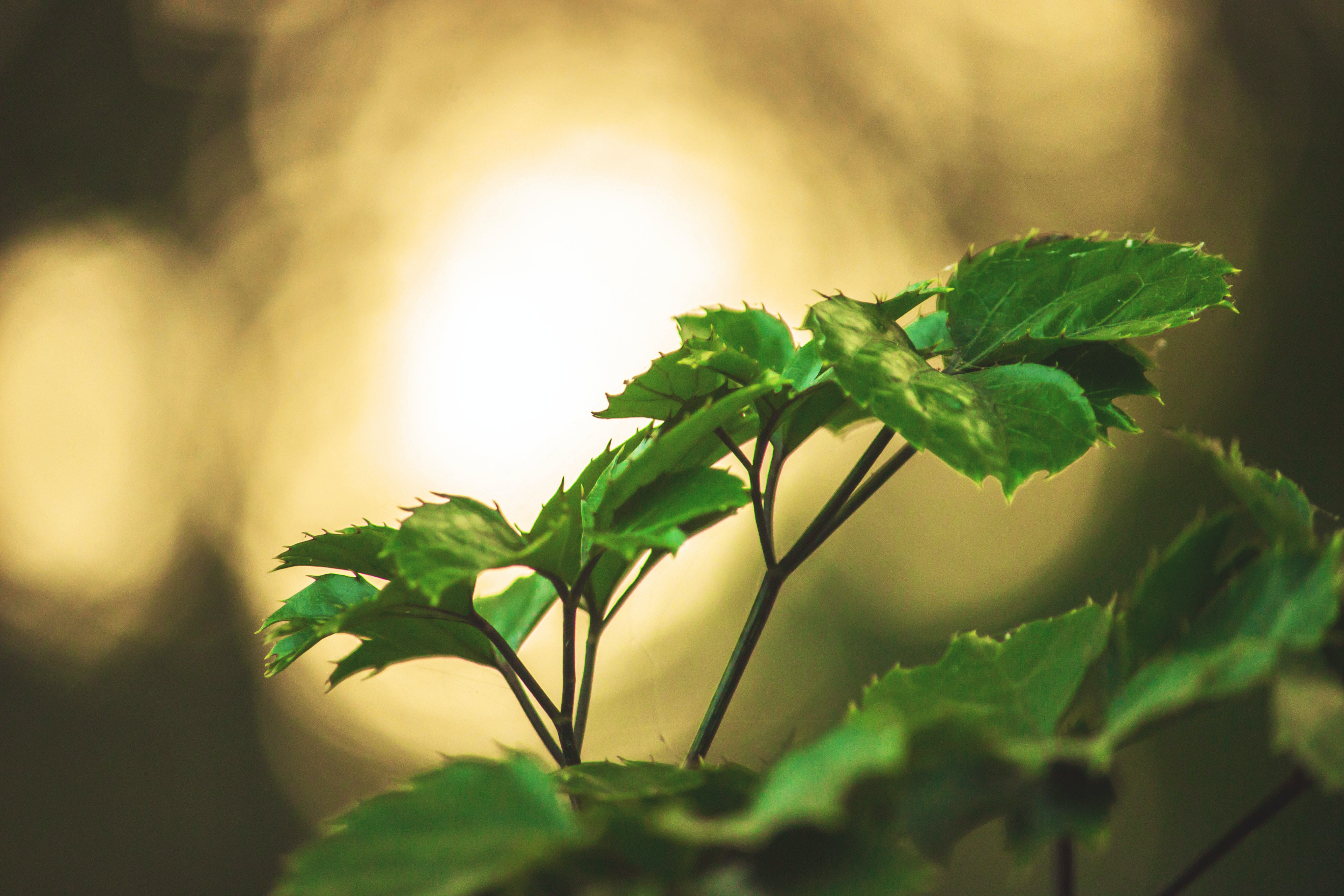 Free stock photo of plant, evening, leaves, bokeh