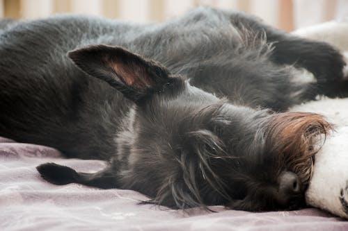宠物狗, 狗, 睡眠, 睡著 的 免费素材照片