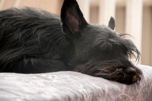 狗, 睡眠, 睡著, 黑狗 的 免费素材照片