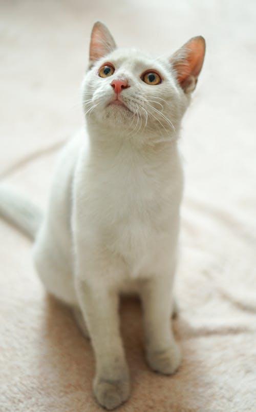 Darmowe zdjęcie z galerii z biały kot, kot, kotek, różowy nos