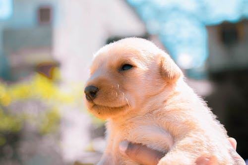 Free stock photo of a cute white labrador, adorable, adult