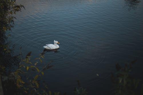 Free stock photo of duck, england, lake, pond