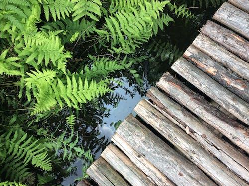 Free stock photo of aquatic plants, green, summer