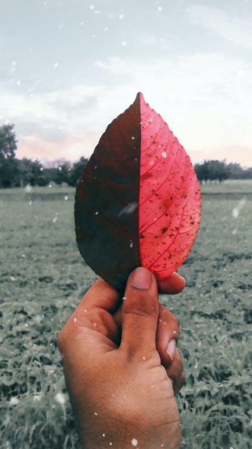 Free stock photo of Aditya, bicolor leaf, farms, filter