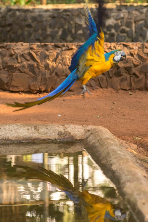 A Yellow And Blue Macaw Flying Over A Pond
