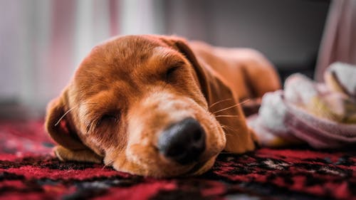 Close-Up Photo of Dog Sleeping