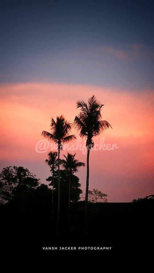 Free stock photo of atmospheric evening, coconut, coconut tree
