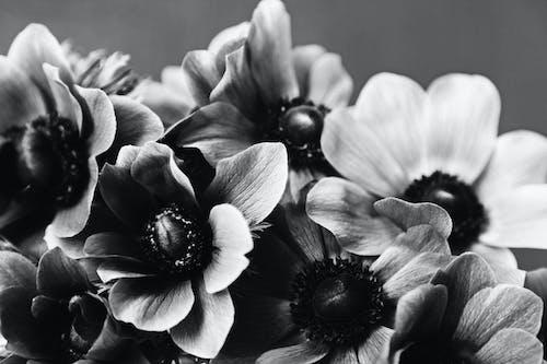 Photos gratuites de à l'intérieur, anémone, bouquet, bouquet de fleurs