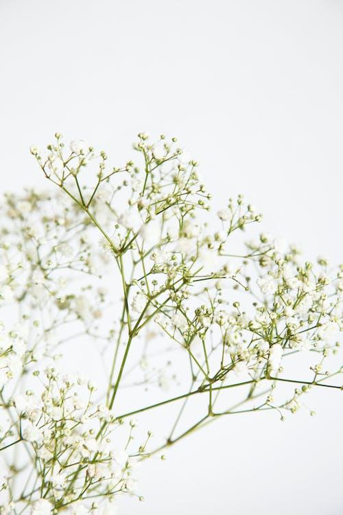 Základová fotografie zdarma na téma barva, bílé květy, bílé pozadí, flóra