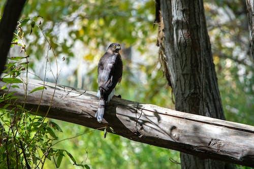 Бесплатное стоковое фото с остроконечный ястреб, птица, хищная птица