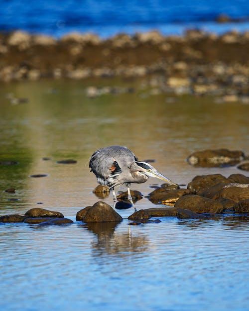 Бесплатное стоковое фото с птица, цапля