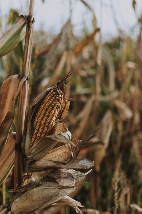 Close-up Photography of Corn