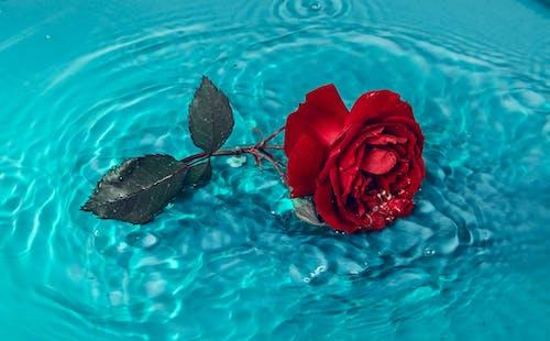 Rote Rose Auf Blauem Wasser