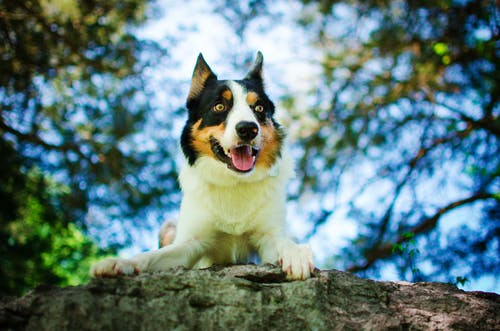 Selective Focus Photo of Border Collie Dog Lying Down on a Rock
