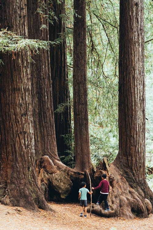 Two Children Under Giant Sequoia Trees In The Woods