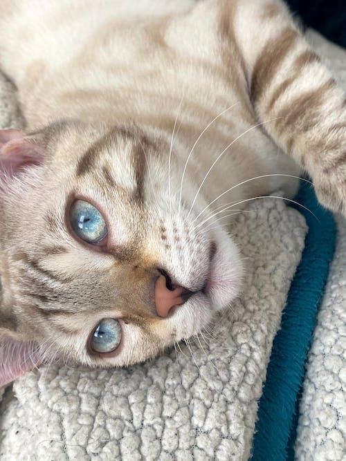 Free stock photo of Bengal cat, blue eye, cat, cat eye
