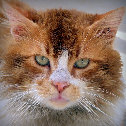 Immagine gratuita di gatto, gatto rosso, micio, muso di gatto
