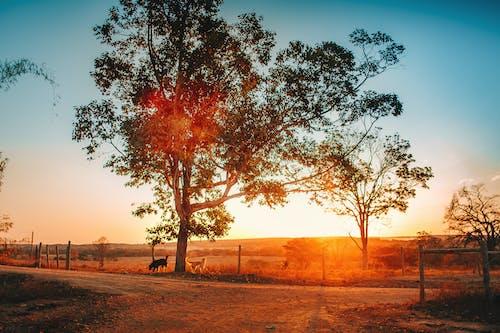 Foto d'estoc gratuïta de alba, animals, arbre, camí de carro