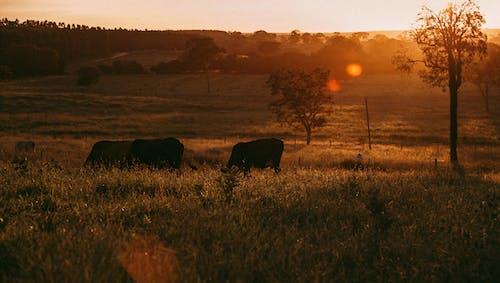 Бесплатное стоковое фото с буколический, бык, волшебный час, гармония
