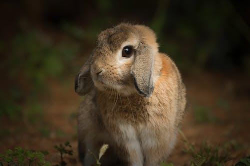 Free stock photo of bunny, bunny ears, rabbit