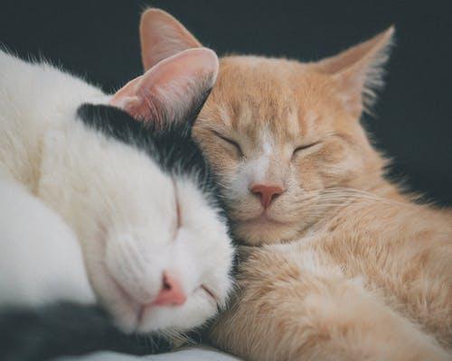 Бесплатное стоковое фото с благотворный, две кошки, корова кошка, милые кошки