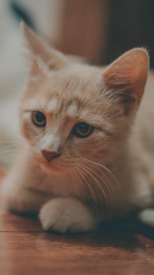 Бесплатное стоковое фото с апельсиновые драже, детские кошки, классный кот, котенок
