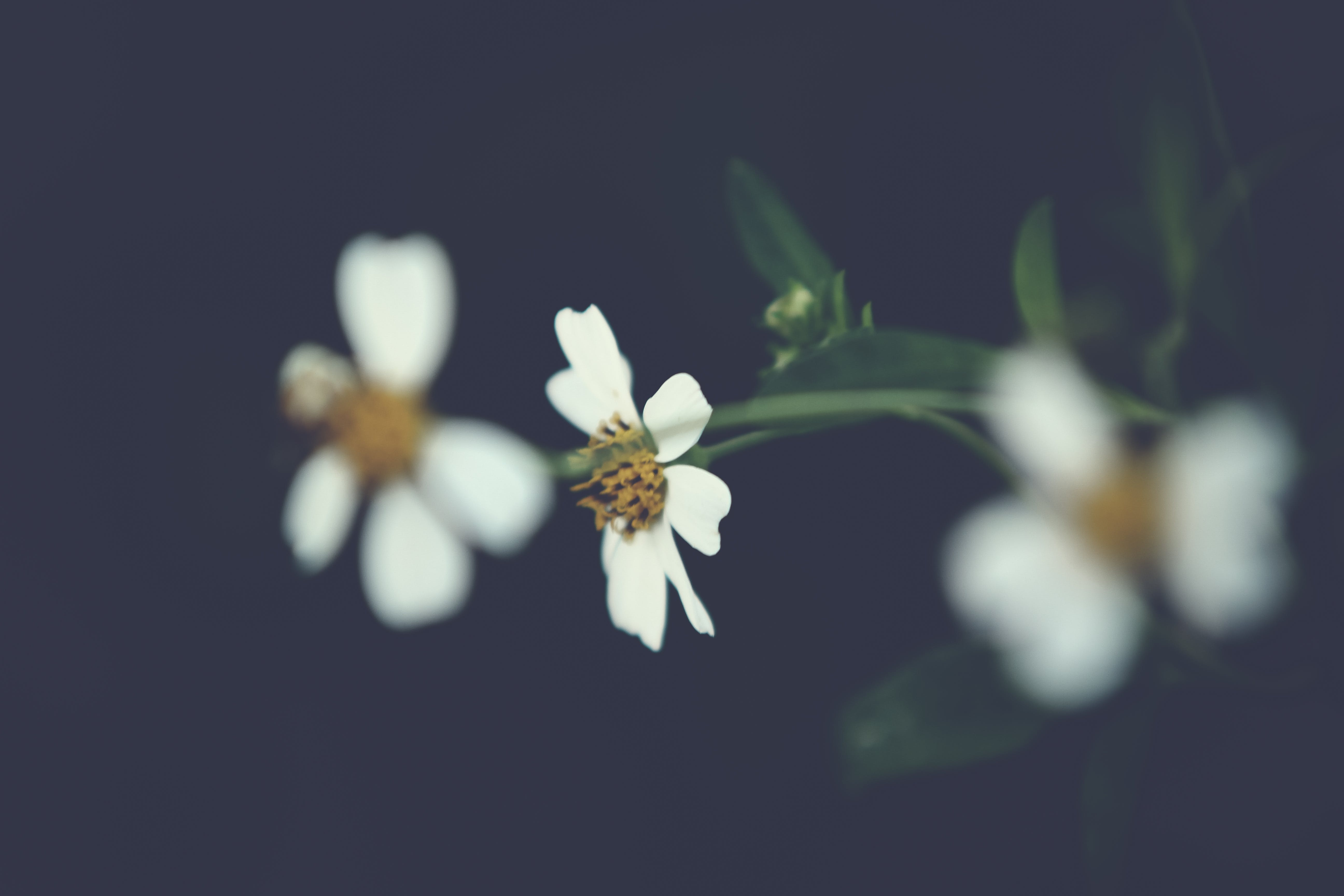 White Petaled Flowers in Selective-focus Photography