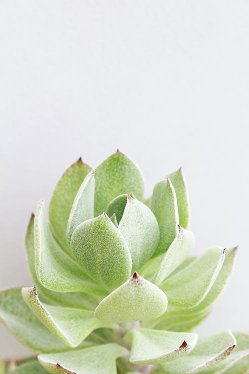 Foto d'estoc gratuïta de planta, planta en un test, planta suculenta, suculenta