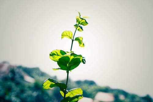 Free stock photo of green tree, jesmine flower tree, new leaf, tree