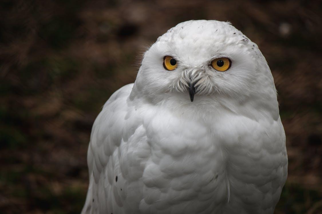 bílá sova, sněžná sova